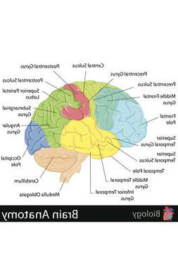 Human Brain Anatomy Regions Labeled Educational Chart Poster