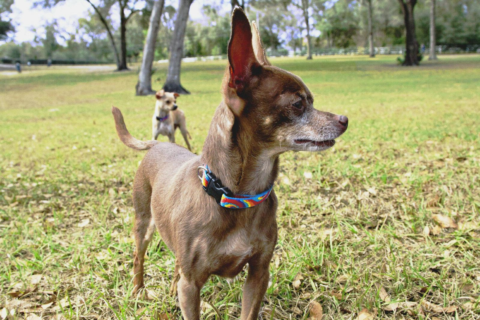 """Lupine 1/2 Inch Width Small Dog Snap Collars in 6-9"""", 8-12"""""""