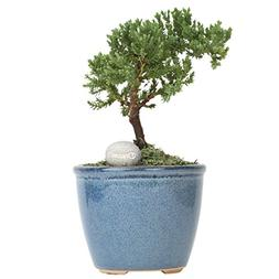 Costa Farms Mini Bonsai Ficus Juniper Live Indoor Tree with